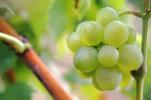 Ízletes csemegeszőlő