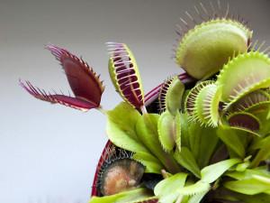 Húsevő növények